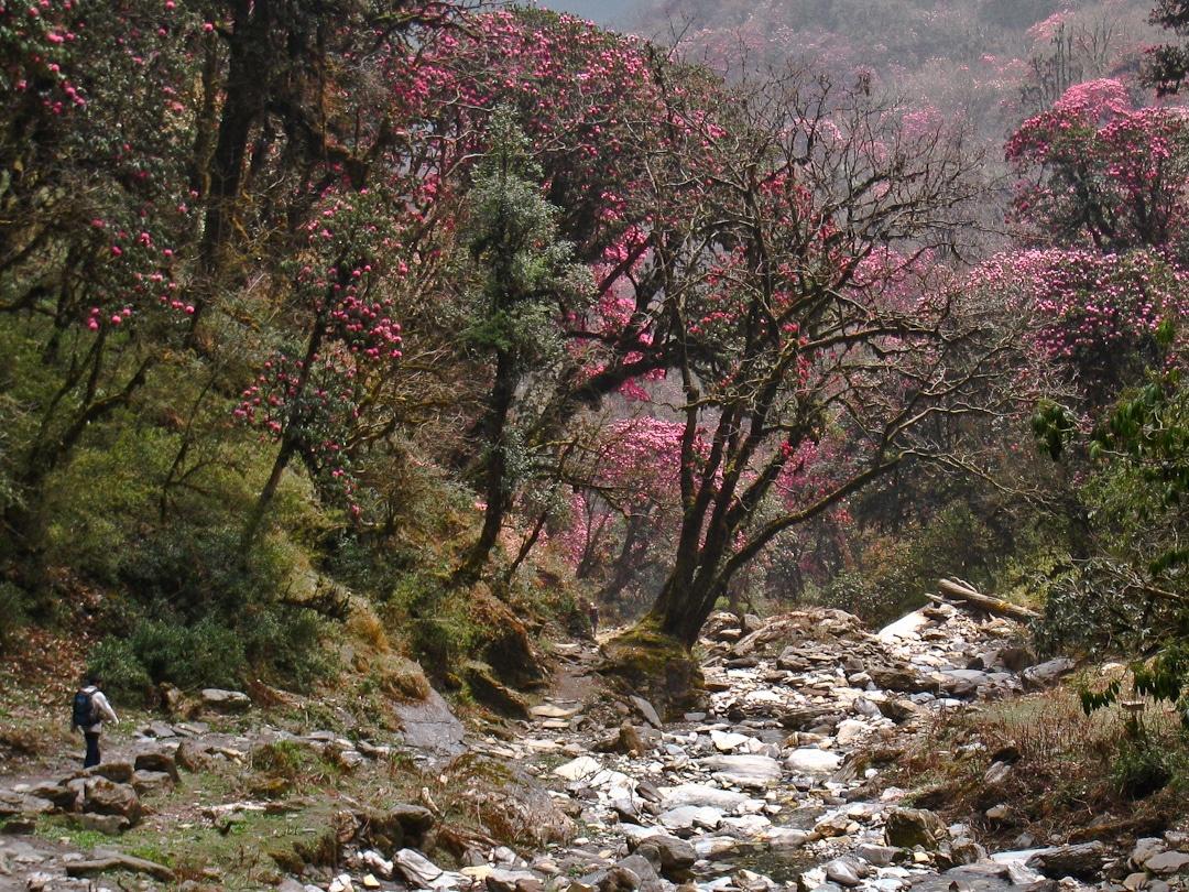 Les rhododendrons du sanctuaire des Annapurna lors d'un trek au Népal