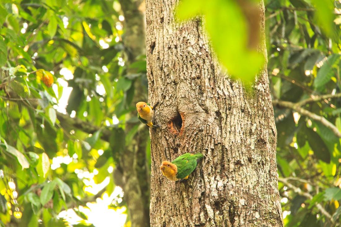 Autre couple de perroquet de la jungla amazonienne