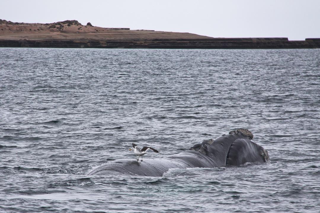 Une baleine franche australe observée à la péninsule valdés en Argentine à la fin de mon tour du monde