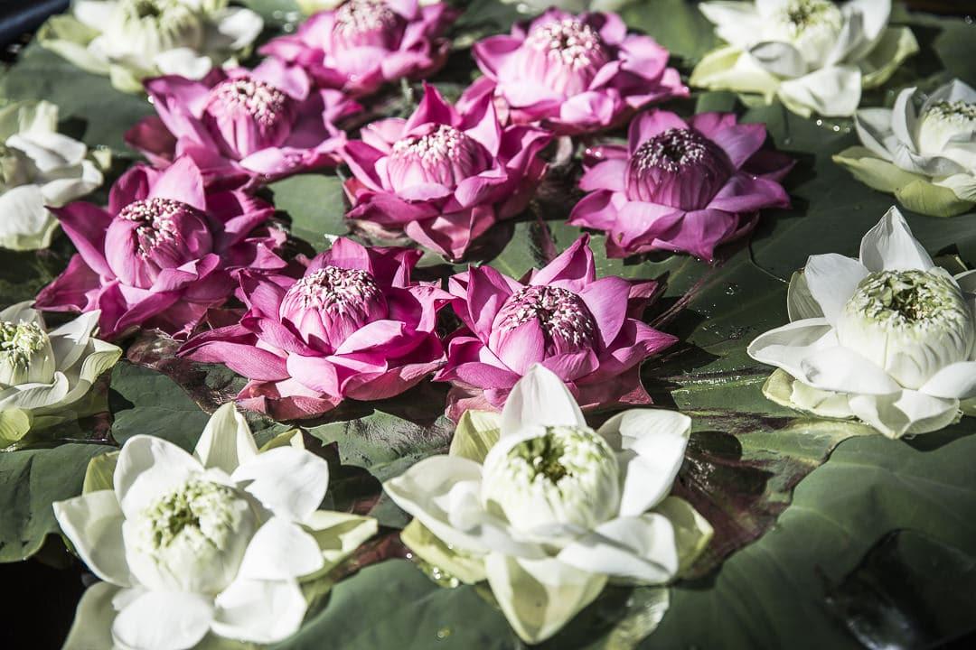 Les fleurs de lotus de la maison Jima Thompson Bangkok Thailande