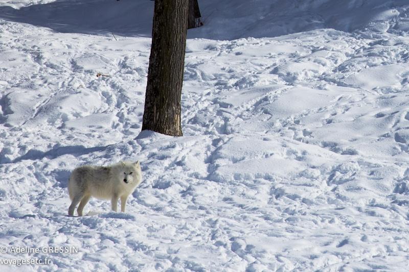 Loup arctique Parc Omega Quebec