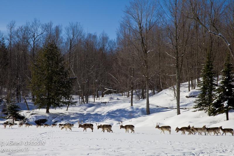 Safari des neiges au Québec daims du lac gelé Parc Omega