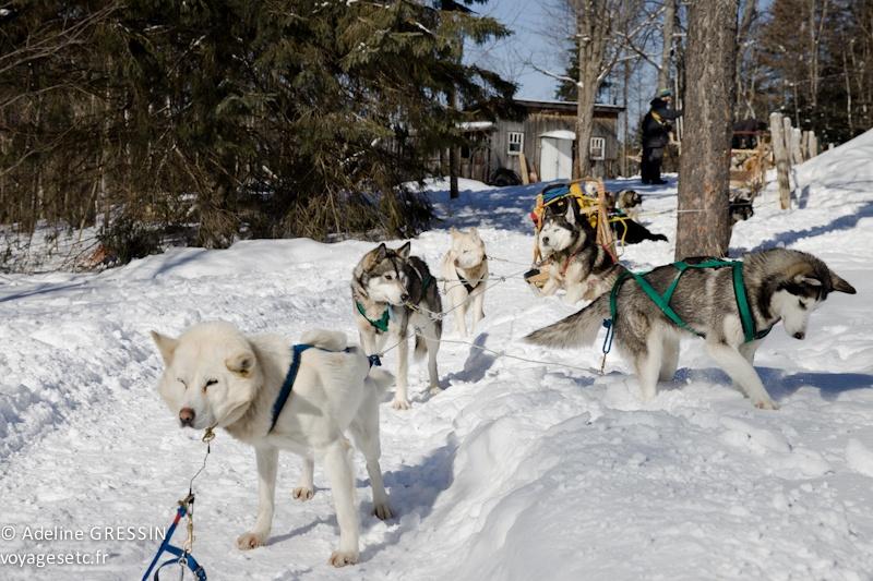 traineau à chiens - attention au départ