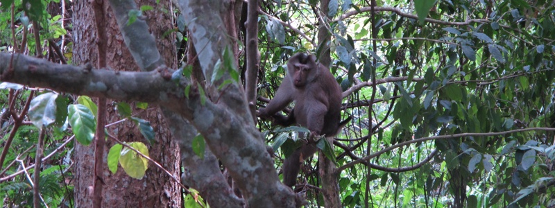 Macaque Khao Yai Thailande