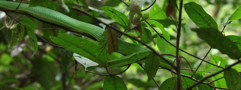 Serpent vert Khao Yai
