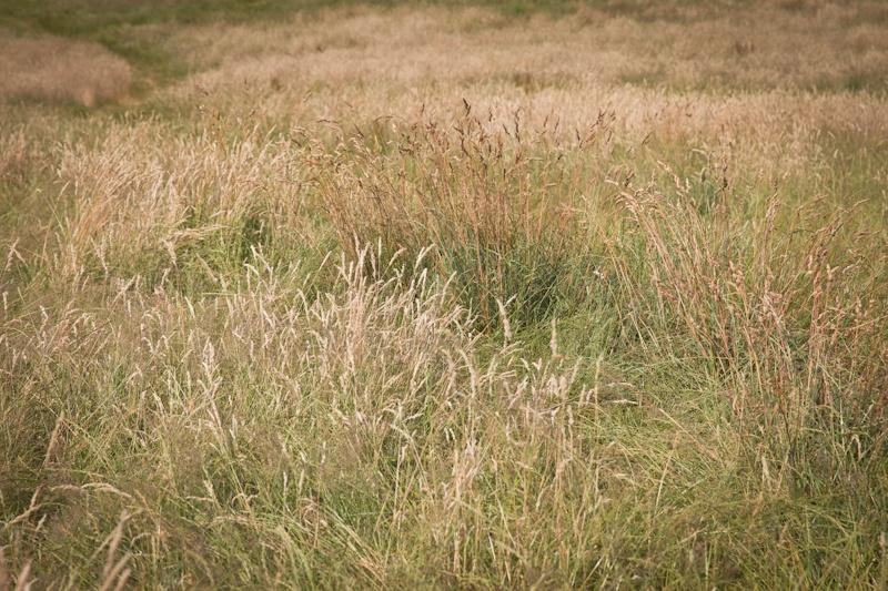 Londres - les herbes folles de parliament hill