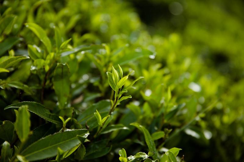Heritance tea factory - jeune pousse