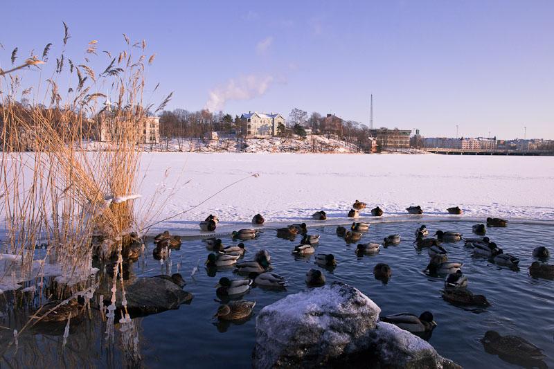 10 vues sur Helsinki - les canards du lac gelé