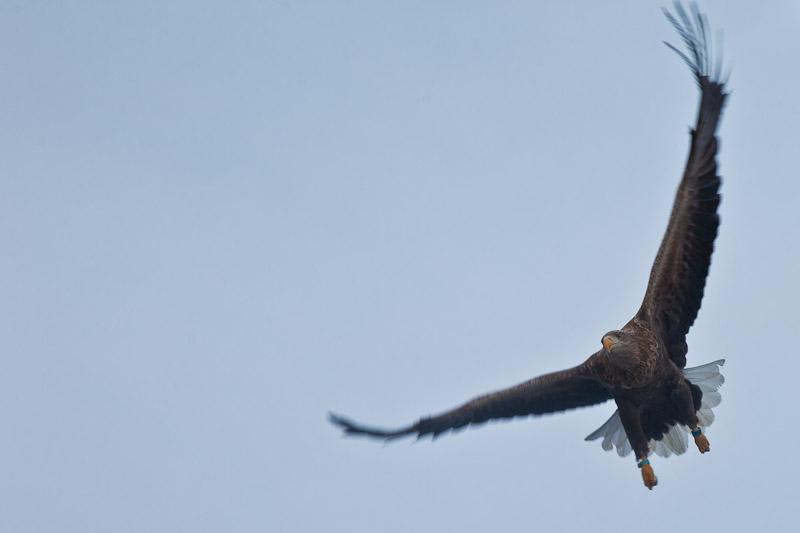 Norvege Safari dans les lofoten - Aigle aux ailes déployées