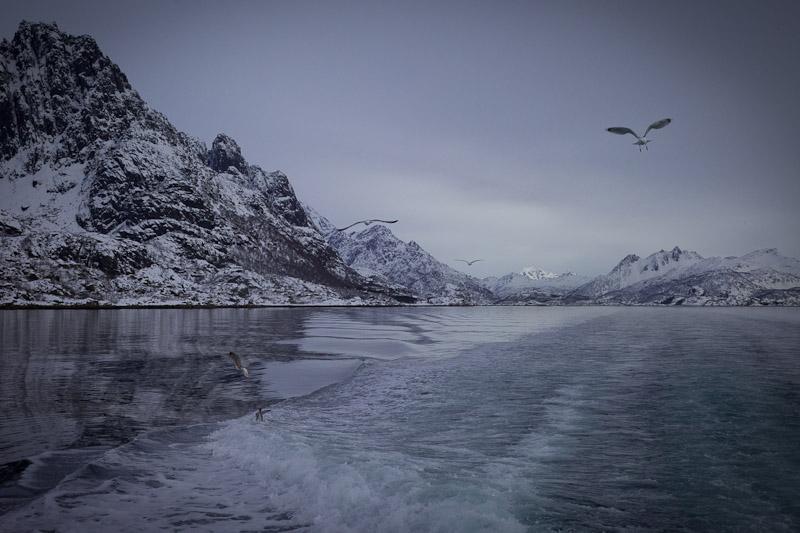 Norvege Safari des mers lofoten - Les mouettes