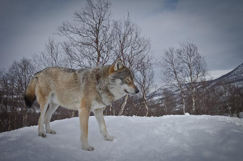 Polar Park norvège - Le loup