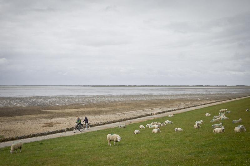 Mer des Wadden - A vélo au milieu des montons