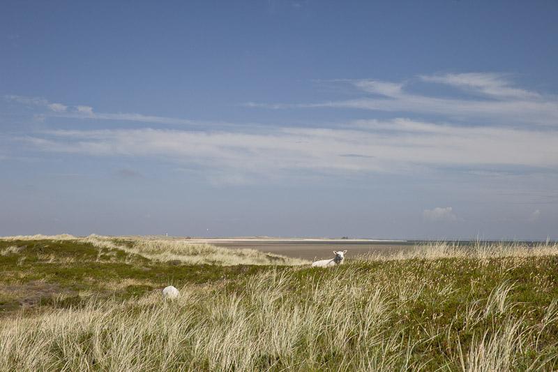 Mer des Wadden - Mouton des prés salés Sylt