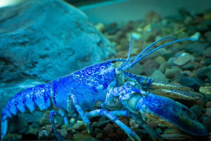 Nouveau Brunswick - homard bleu de l'aquarium