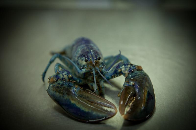 Nouveau Brunswick - homard bleu