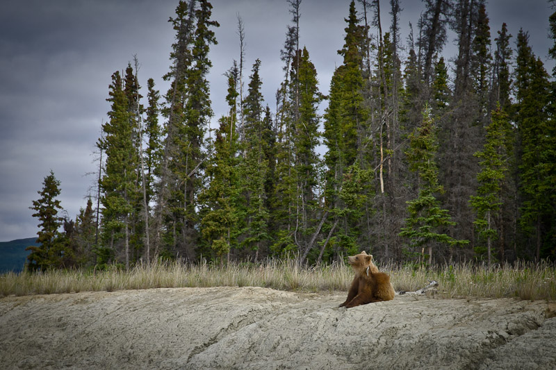 Roadtrip au Yukon - Grizzli qui se gratte la tête