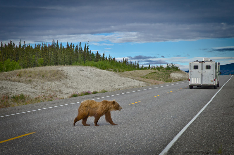 Roadtrip au Yukon - Grizzli traverse l'alaska highway