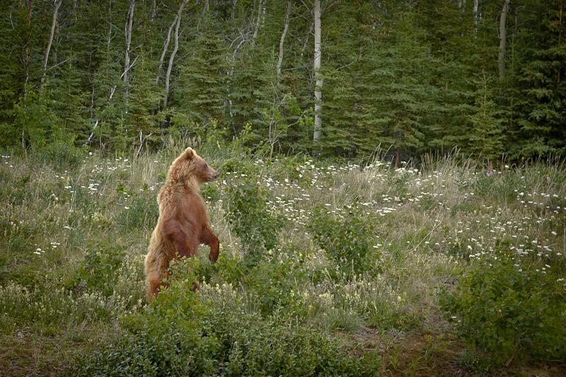 Roadtrip au Yukon - Ours debout