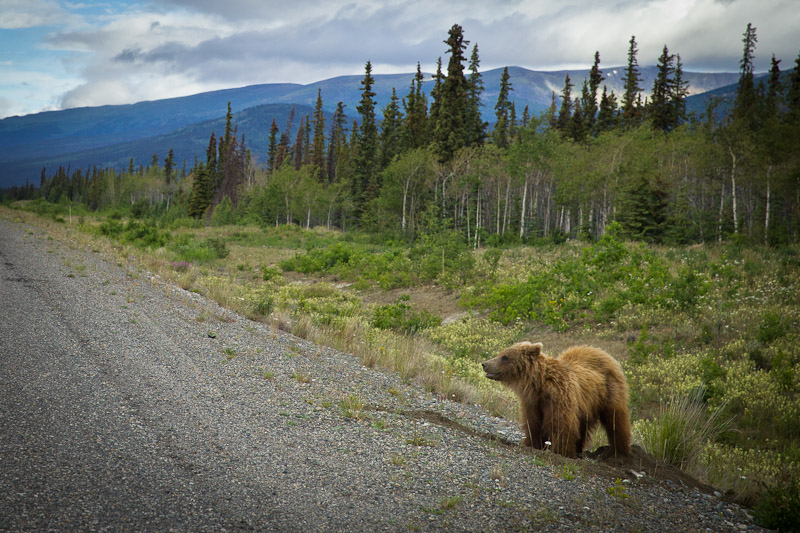 Roadtrip au Yukon - Rencontre Grizzli la tête sortie