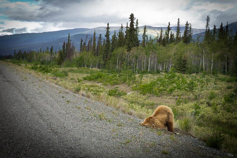 Roadtrip au Yukon - Rencontre Grizzli première vue