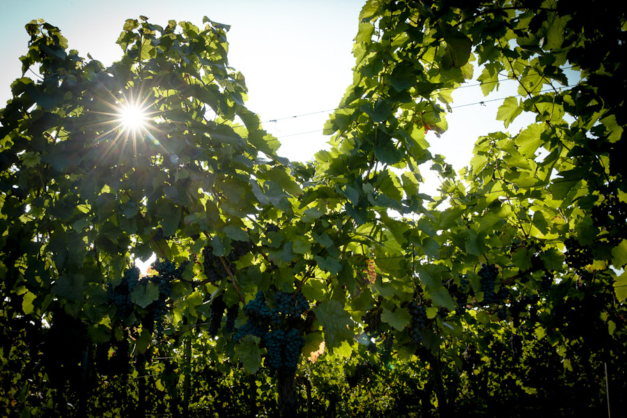 Heilbronn - Soleil dans les vignes