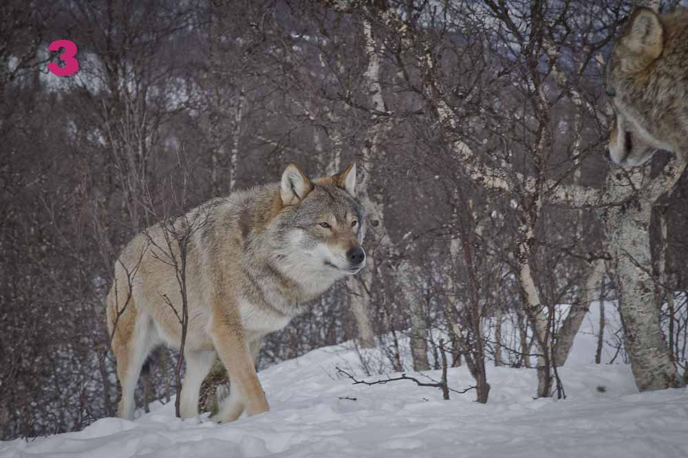 calendrier de l'avent 3 : le loup de narvik norvege