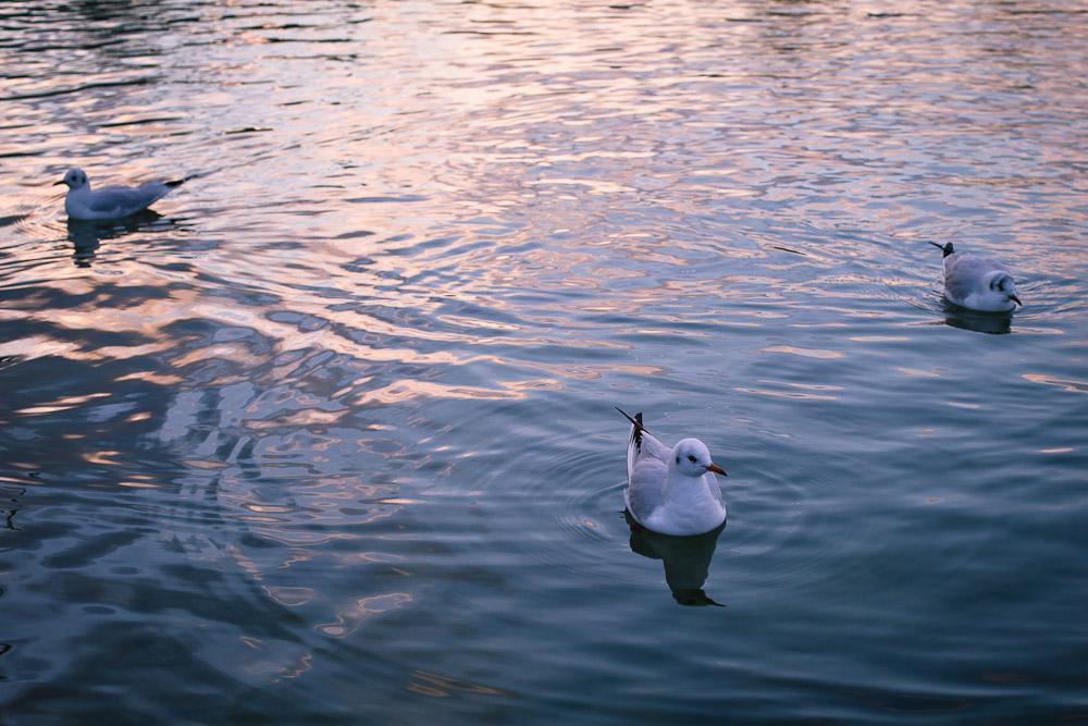 Les mouettes du bassin des tuileries