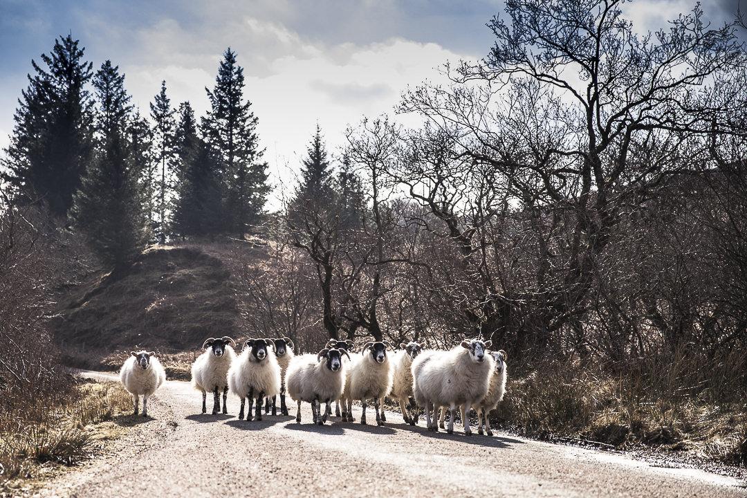 Les moutons, un paramètre incontournable lors d'un road trip en Ecosse #Ecosse #roadtrip