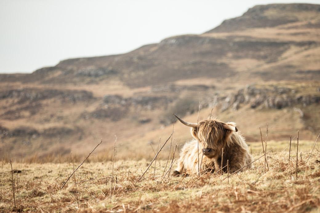 la fameuse highland cow photographiée sur l'ile de Mull en Ecosse