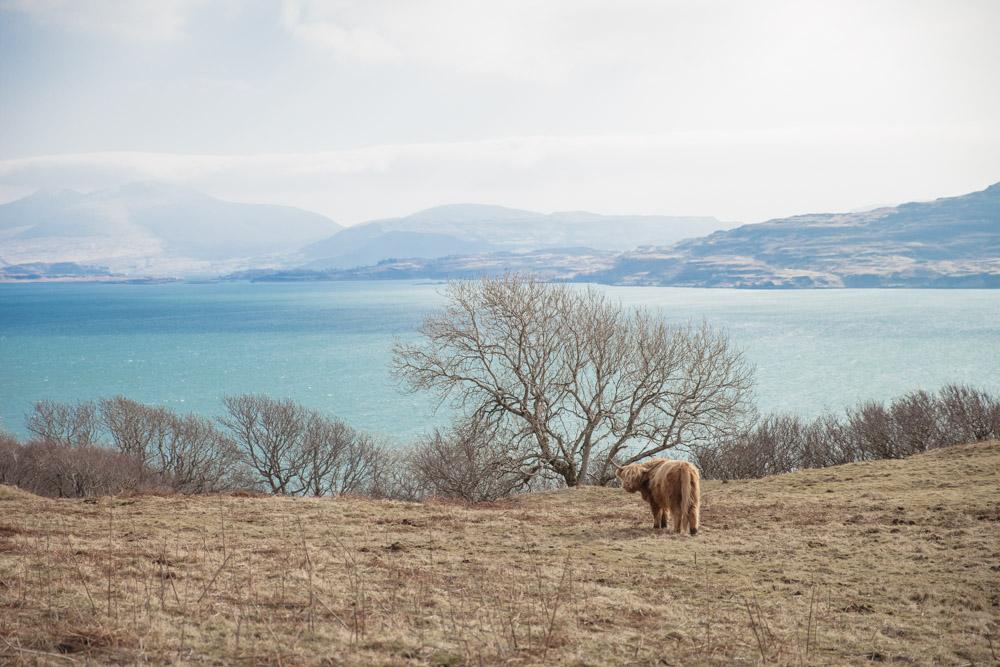 vaches des highlands dans un pré Ecosse