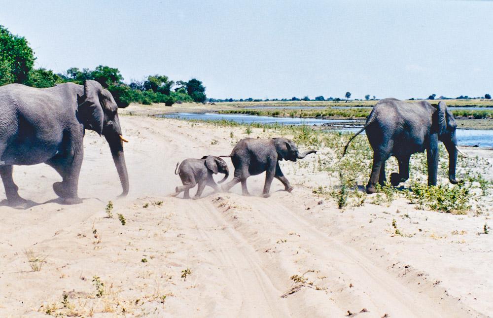 Retour en Afrique - les éléphants du Botswana 2