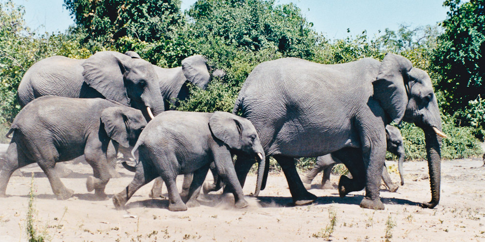 Elephants du Botswana