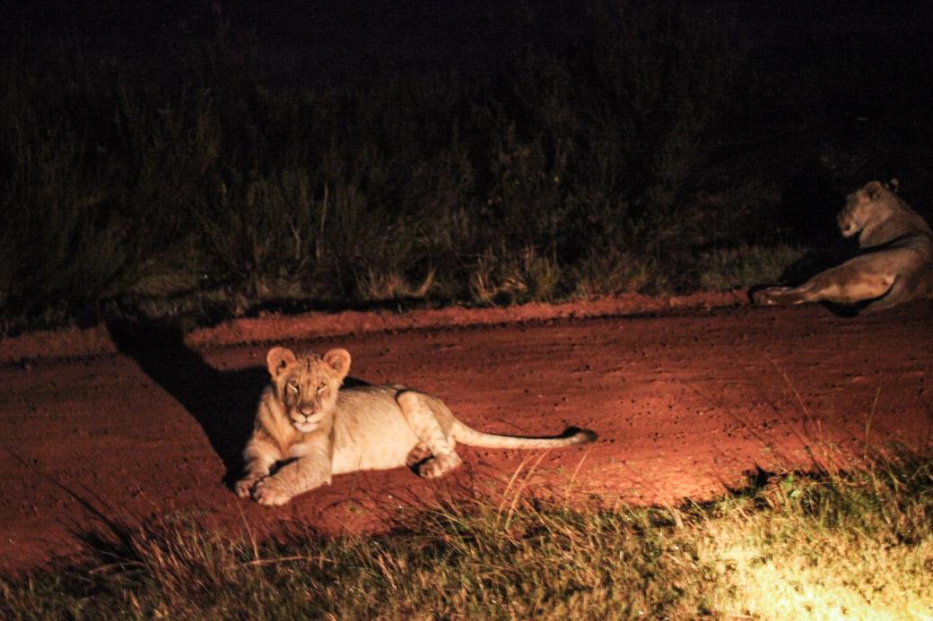 Le lion, l'un des big 5 à voir lors d'un safari en Afrique du sud