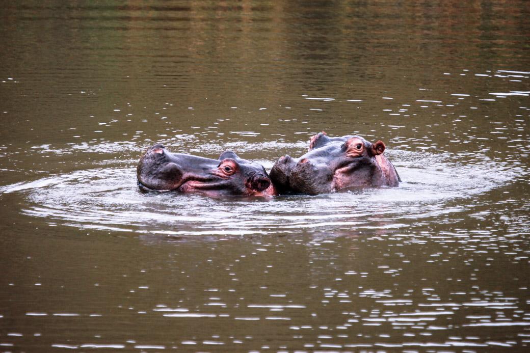 Voir des hippopotames en safari en Afrique du sud