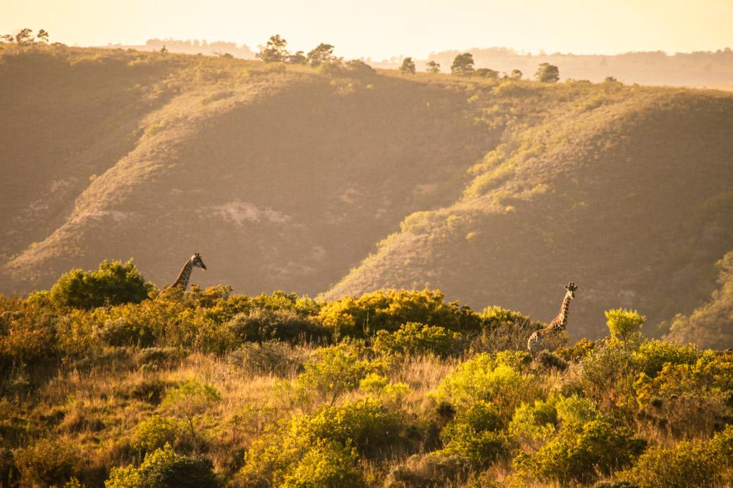 Giraffes en Afrique du sud