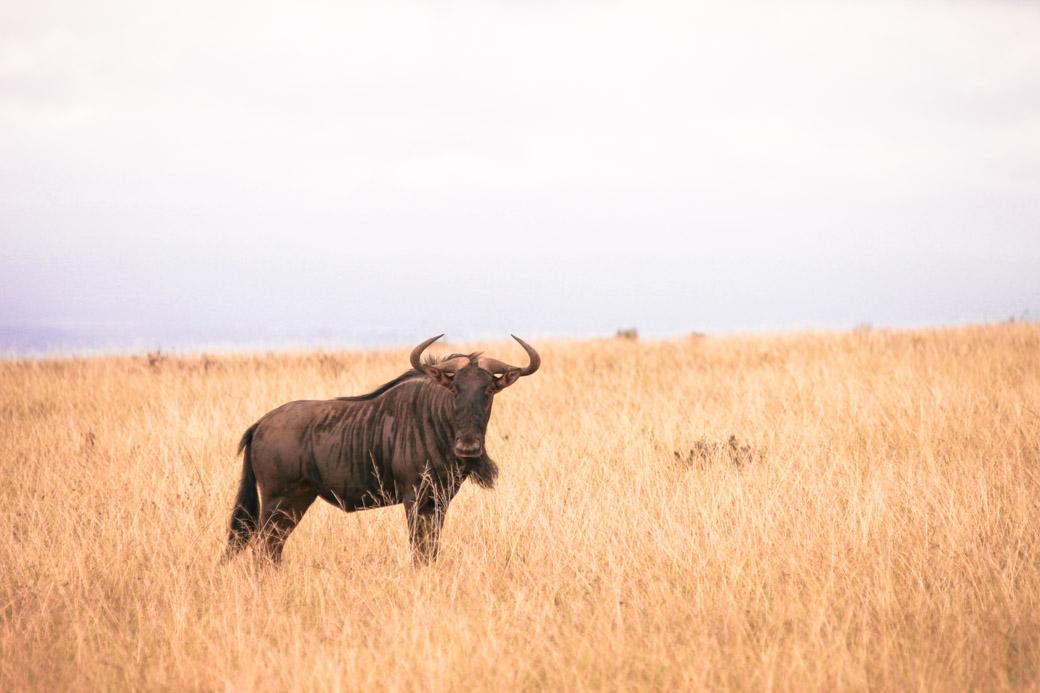 Un gnou vu en Afrique du sud lors d'un safari