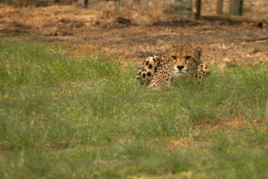 Un guépard près à bondir en Afrique du Sud