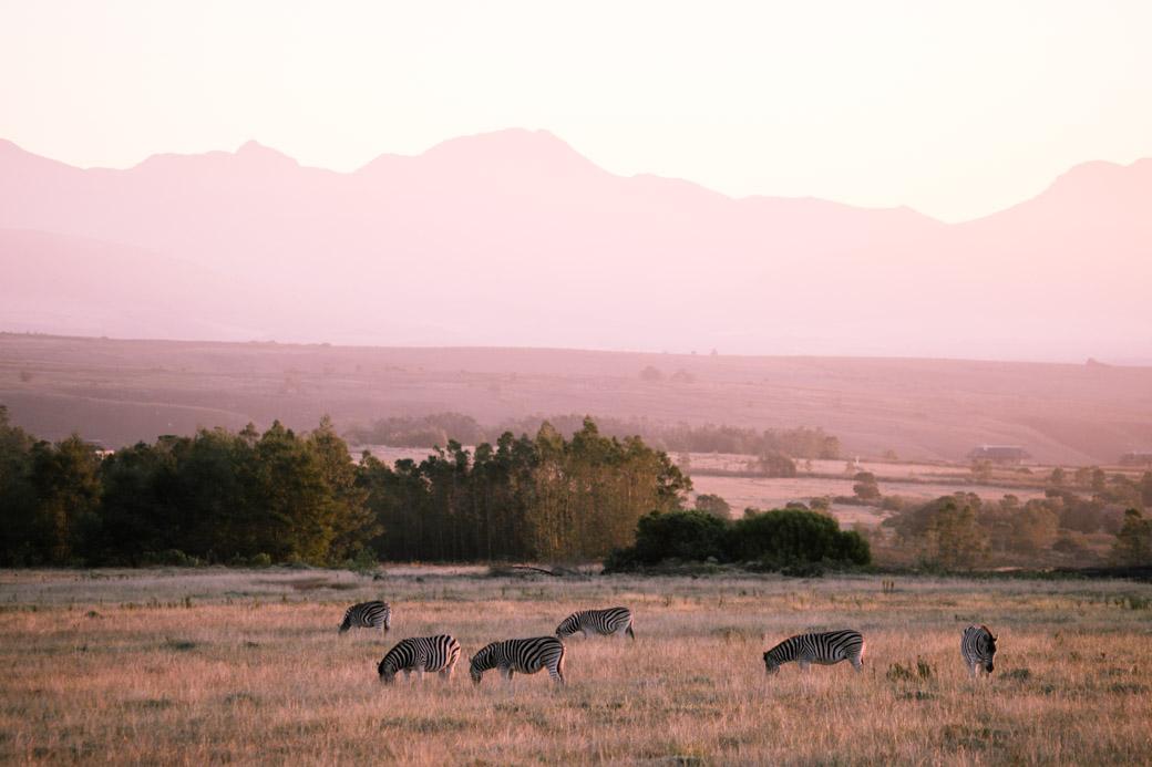 Safari en Afrique du sud - Lever de soleil sur les zèbres