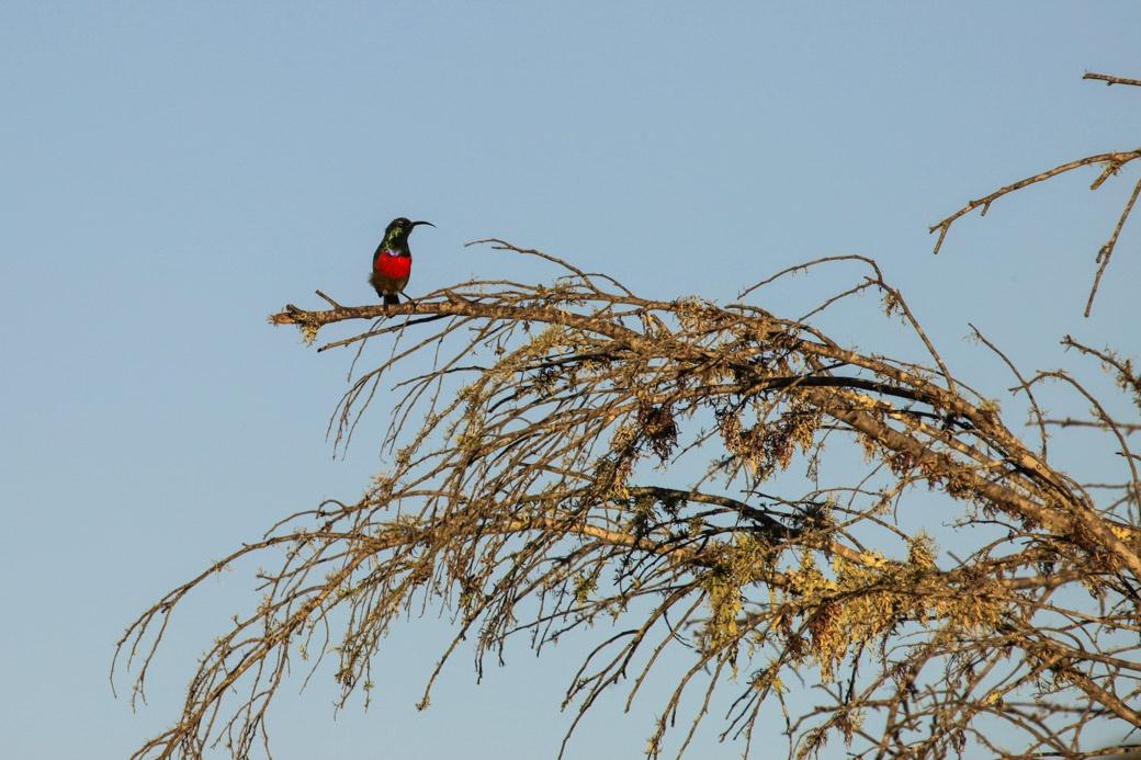 Safari en Afrique du sud - Souimanga à poitrine rouge