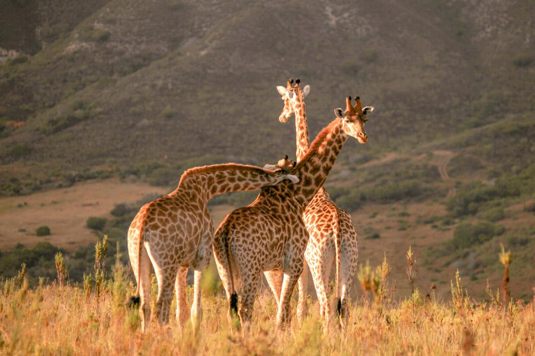 Safari en Afrique du sud - la tendresse des giraffes