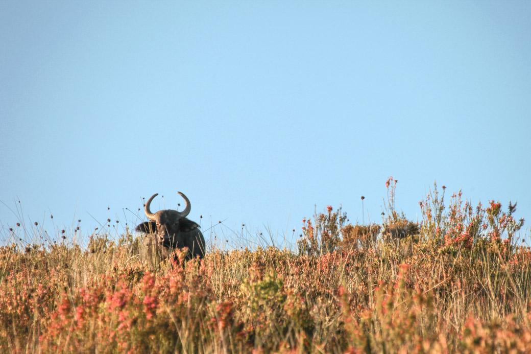 Safari en Afrique du sud - le buffle