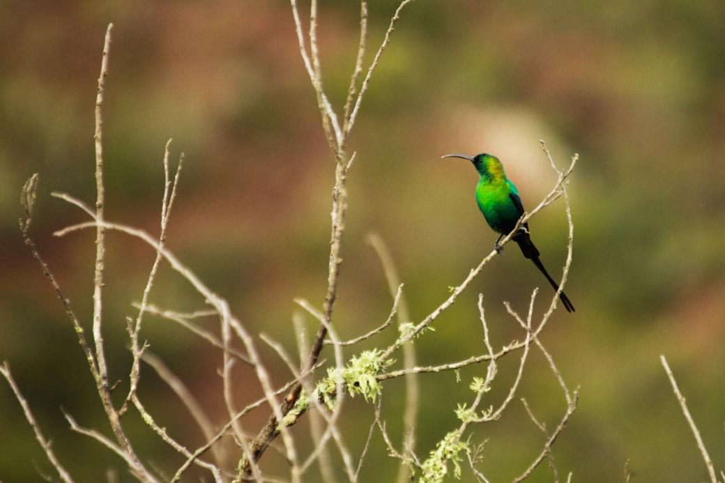 Safari en Afrique du sud - passereau
