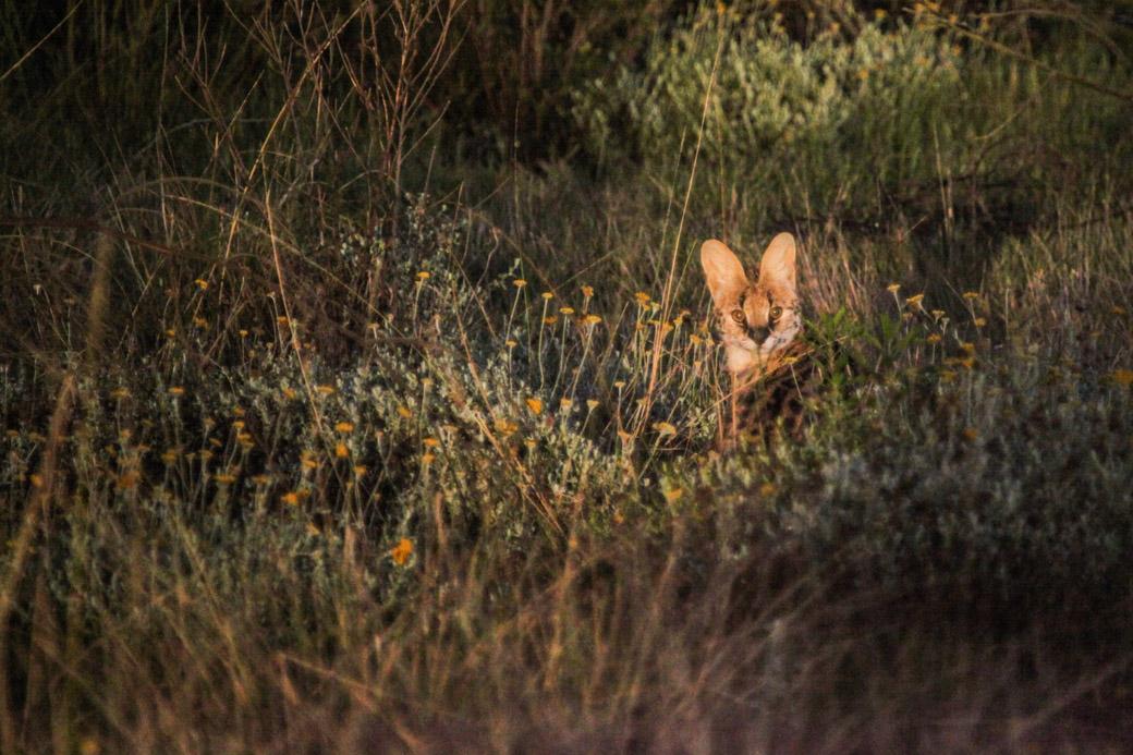 Safari en Afrique du sud - rencontre Serval