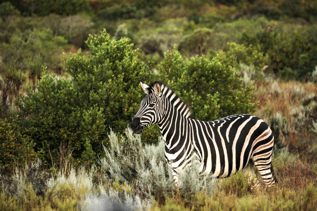 Safari en Afrique du sud - zèbre