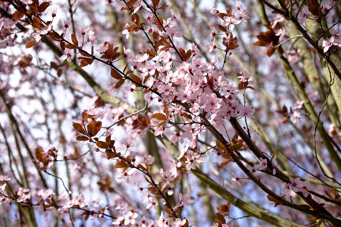 Parfums de mon enfance - Cerisiers