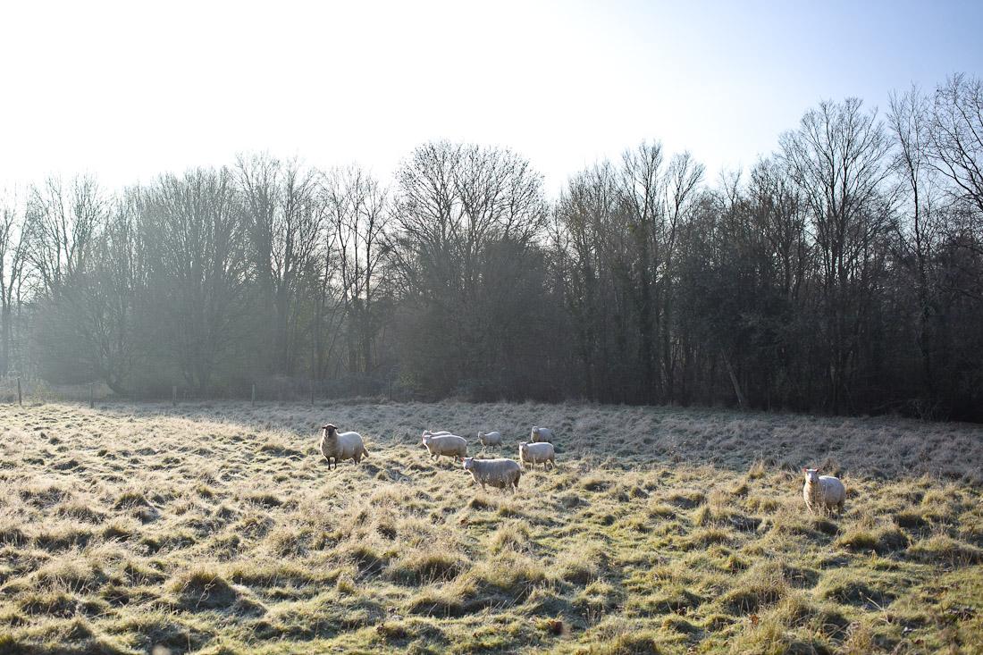 Parfums de mon enfance - Les moutons