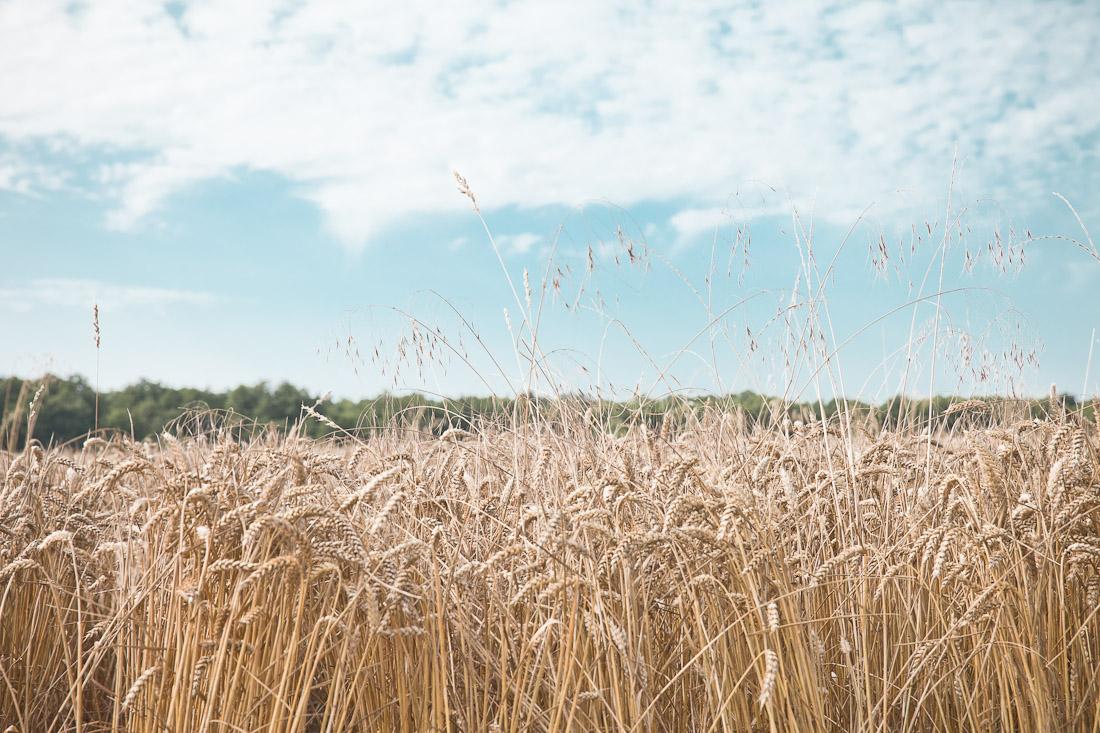 Parfums de mon enfance - le blé