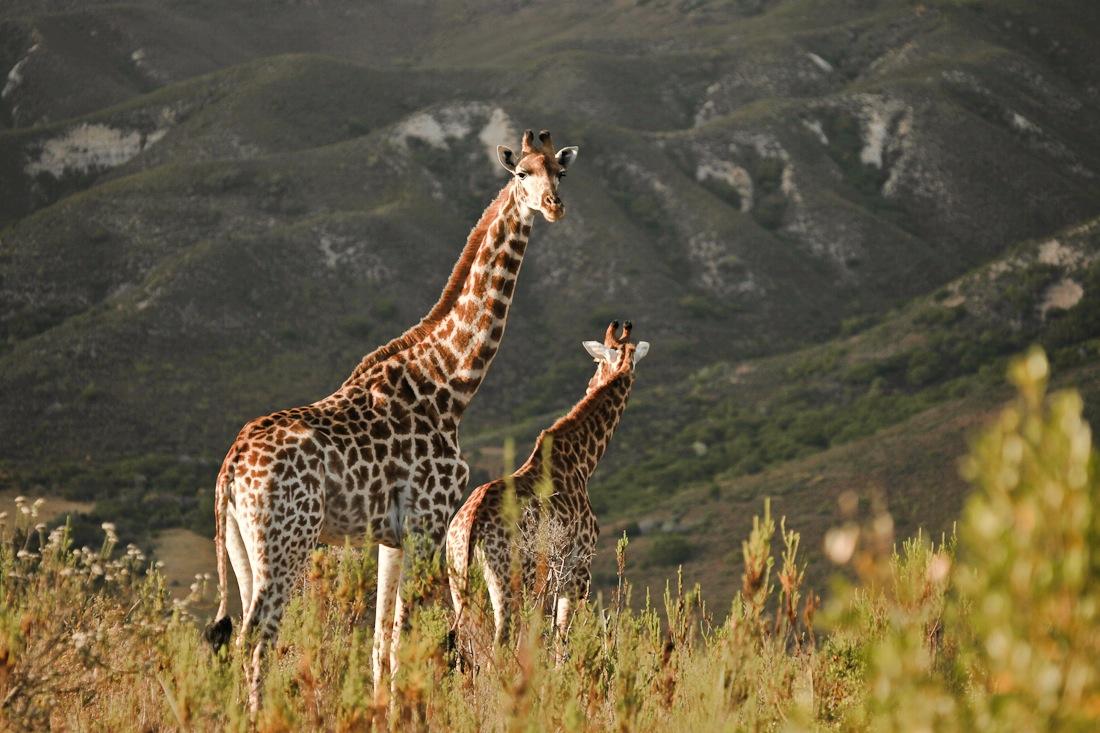 Les 3 jours de safari au Gondwana game reserve ont été une façon incroyable de cloturer ce voyage en Afrique du sud