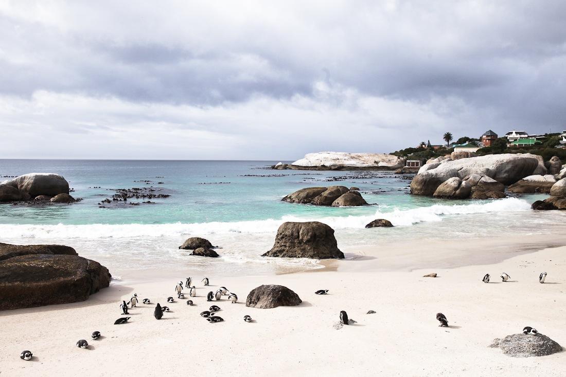 Boulders beach et les manchots du Cap sont une étape incontournable sur la péninsule du cap en Afrique du Sud