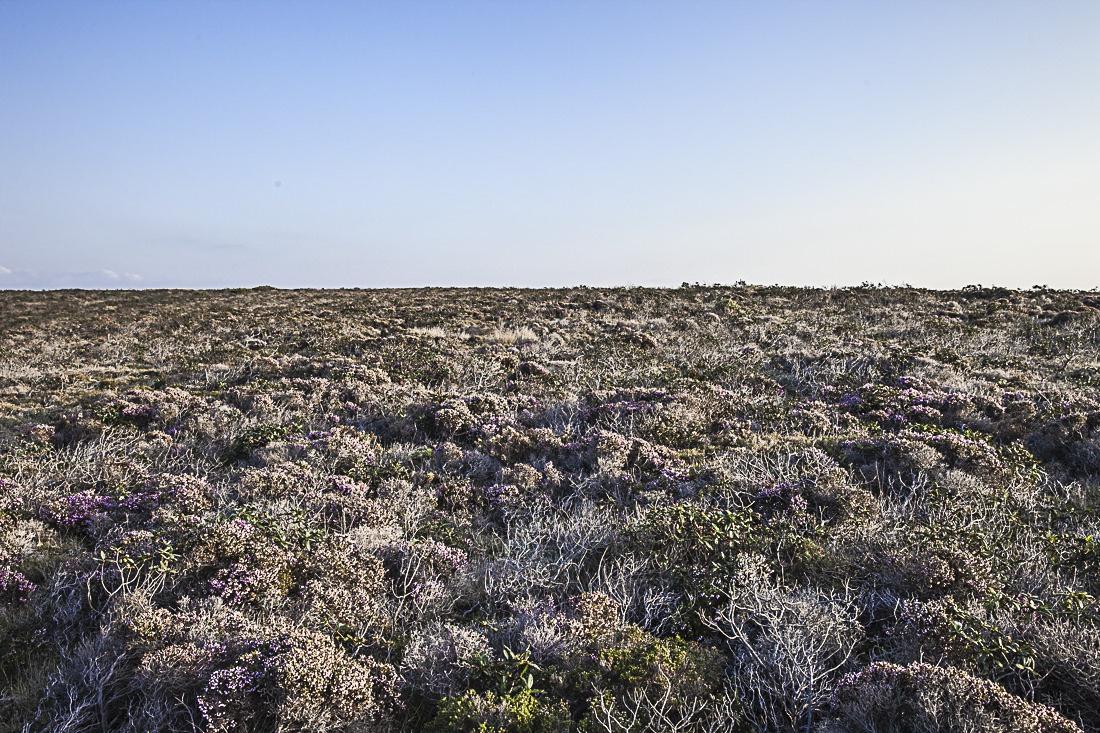 Champ de bruyère en haut des falaises autour de Arrafina en Algarve au Portugal